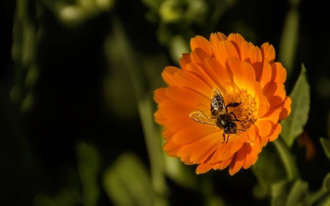 SPD-Fraktion wünscht sich mehr Schutz für Bienen